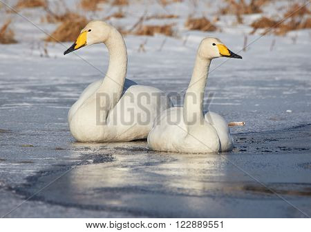 Whooper swan (Cygnus Cycnus) couple resting close together on the ice of a frozen lake in Finland in winter.