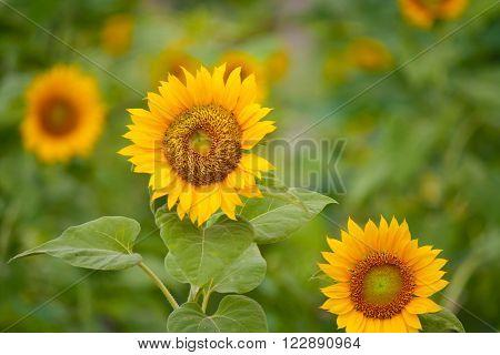 Blooming Sunflower with blurred background. Sunflowers garden