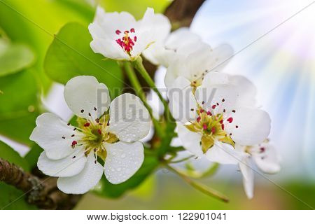Photo of blossoming tree brunch with white flowers .Flowers of the pear blossoms on a spring day.