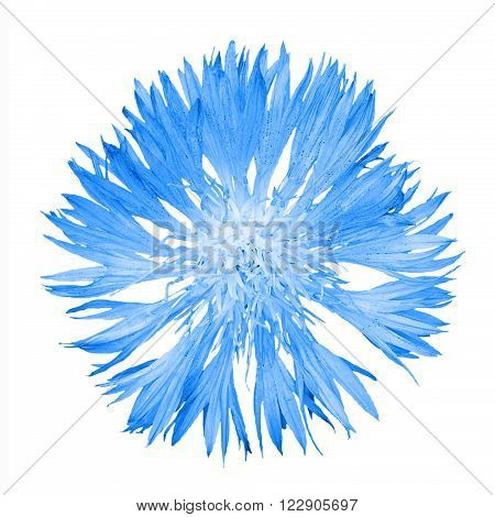 Natural Blue Cornflower Flower Isolated On White