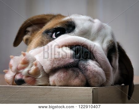 Puppy peeking out of the enclosure. English bulldog puppy. Purebred dog. Paw with claws, pink skin on the heel.