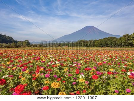 Field of cosmos flowers and Mountain Fuji in summer season at Yamanakako Hanano Miyako Koen