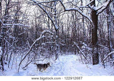 running wolf hasky in a snowy forest