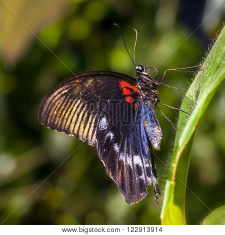 Colorful Scarlet Mormon Butterfly