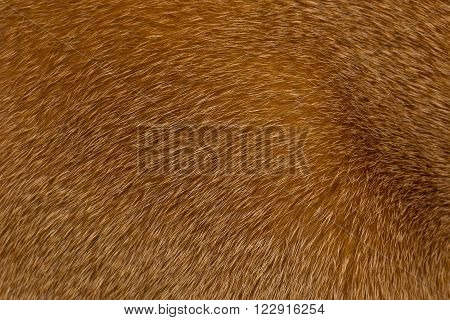 Short haired red Abyssinian cat fur structure