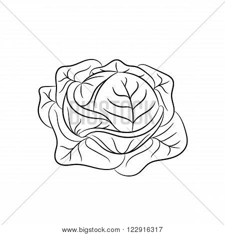Cabbage. Vector hand drawn cabbage illustration isolated on white background - stock vector