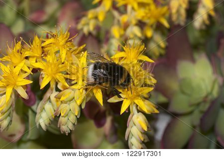 bee on a sedum plant with yellow flowers
