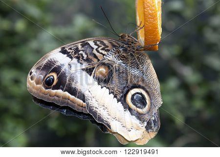 Illioneus Giant Owl (Caligo illioneus). Butterfly on orange