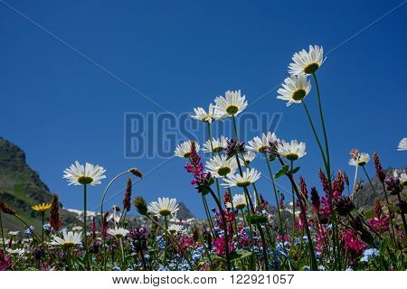 Field (or wild) flowers against bright blue sky and mountains background. Alpine meadow in summer beginning.