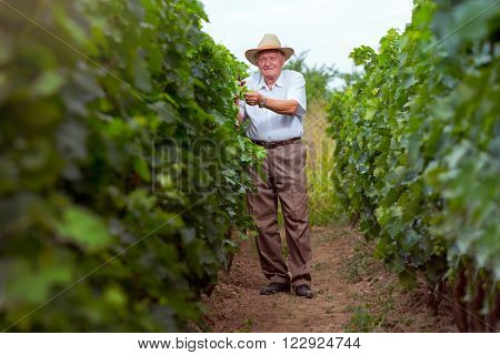 Senior winemaker with hat in vineyard before harvest