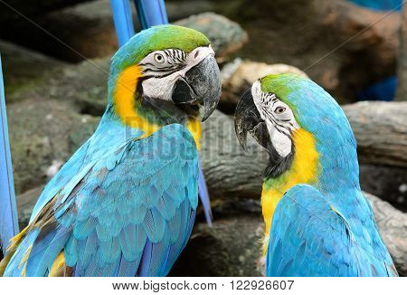 beautiful Blue-and-yellow Macaw (Ara ararauna) also known as the Blue-and-gold Macaw