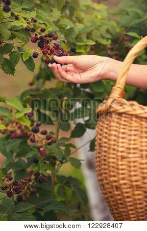 Woman  hand picking blackberries on a farm