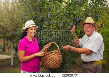 Young woman helping an older man in the orchard to pick plums