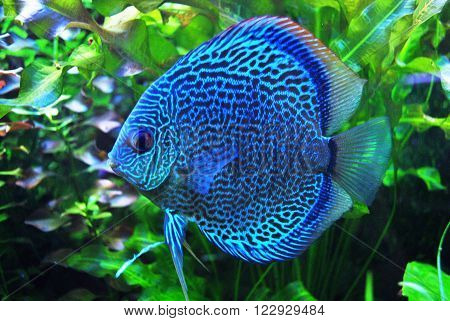 Ocean , bright blue fish in the aquarium - a perfect image of the underwater world . Inaccessible spectacle for the eye ordinary person .