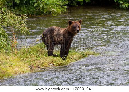 grizzly Bear Cub Catching Salmon at hyder Alaska