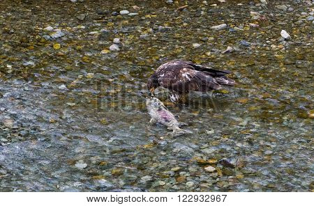Bald eagle eating salmon fish at hyder Alaska