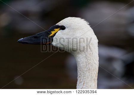 White Tundra Swan migratory bird close up
