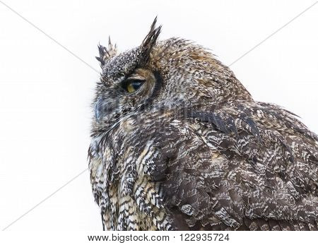Great Horned Owl close up shot BC Canada