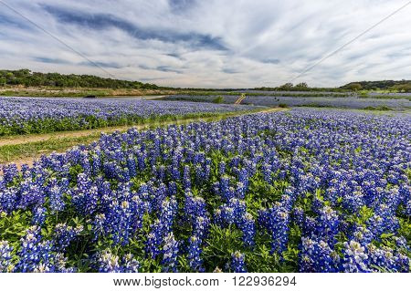 Large Texas bluebonnet field in Muleshoe Bend, Austin, TX.
