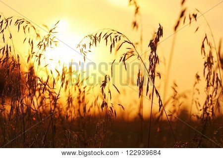 ripe ears of corn at sunset in a field crouched down in the twilight