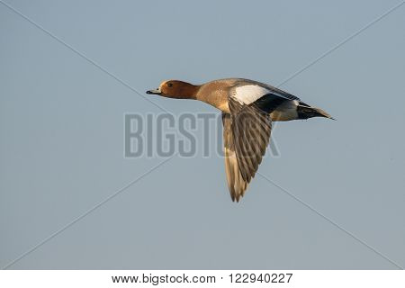 Eurasian Wigeon (Anas penelope) drake in flight against a blue sky