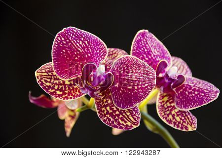 Photograph of Moth orchid or  Phalaenopsis taken indoors against a dark background
