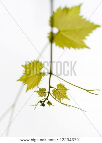 branch of vine leaves, grapes the young shoots of the vine on a white background