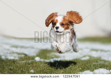 happy cavalier king charles spaniel dog running outdoors