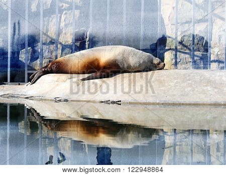 Photo sea lion at rest in a zoo