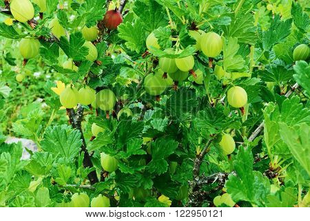 Ripe and juicy green gooseberries hanging on a Bush in clusters on a background of the green leaves.