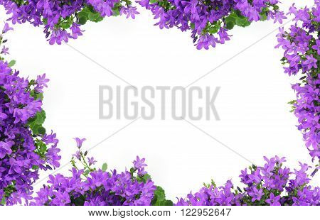 Beautiful campanula bellflower backround on the white background for the text.