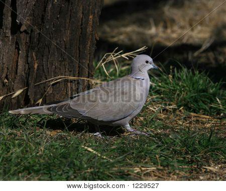Urasian Collared Dove