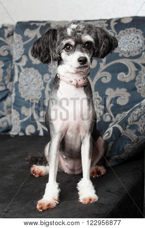 Pets. A gray chinese crested dog is sitting on the sofa