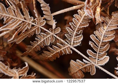 Brown Autumn fern pattern closeup. Fern covered with hoarfrost.