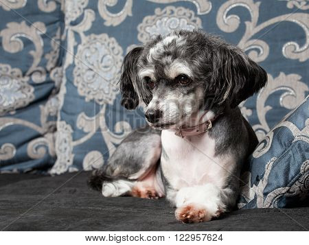 A Gray Chinese Crested Dog