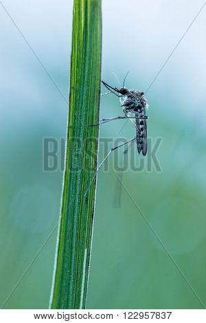 Mosquito on green grass at dusk close up