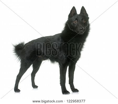 young Schipperke dog in front of white background