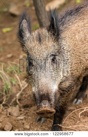 Young wild boar eat acorns under the oaks
