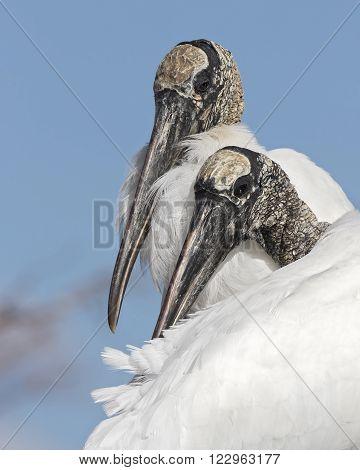 Closeup Of A Pair Of Wood Storks - Florida