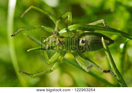 Huntsman Spider, Ventral View - Micrommata Ligurina