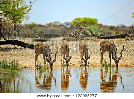 Herd of Kudu drinking from a waterhole with good reflection