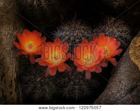 Beautiful wild desert blooming cactus flower