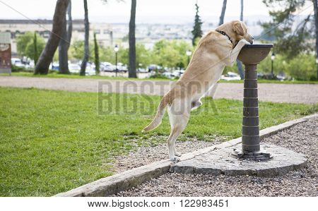 Labrador dog drinking water at the park from iron fountain for people