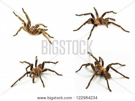 set of close up Tarantula Isolated on white Background