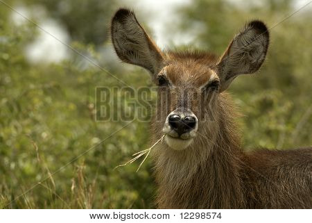 Portrait of a female Waterbuck grazing on grass