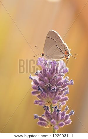 Macro of a Gray Hairstreak butterfly resting on a purple lupin.