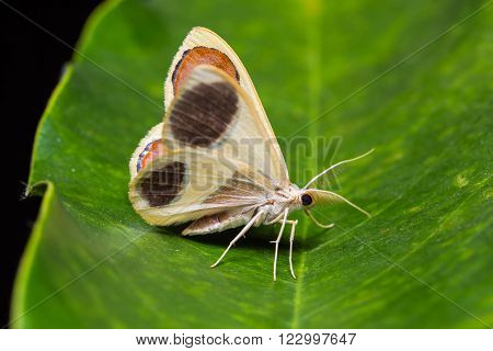 Plutodes Flavescens Moth