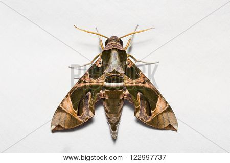Jade Hawkmoth On White Screen