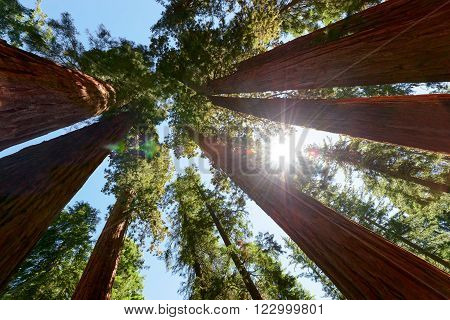 Giant Sequoias forest, Yosemite National Park, California