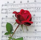 Rose For A Lovely Lady